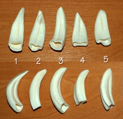 Boar Tusks